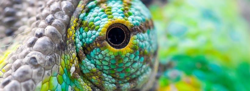 Chameleons Eye